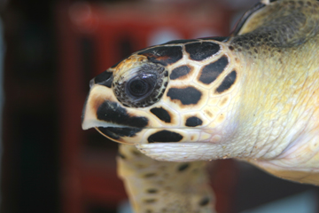 Face of juvenile hawksbill